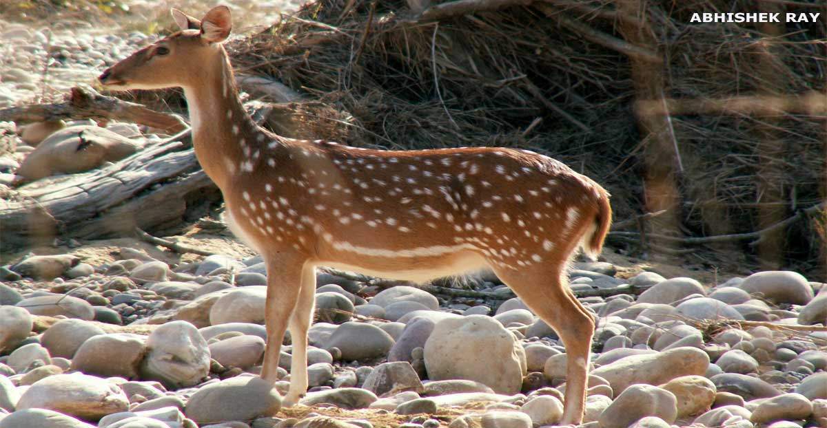 Female Chital
