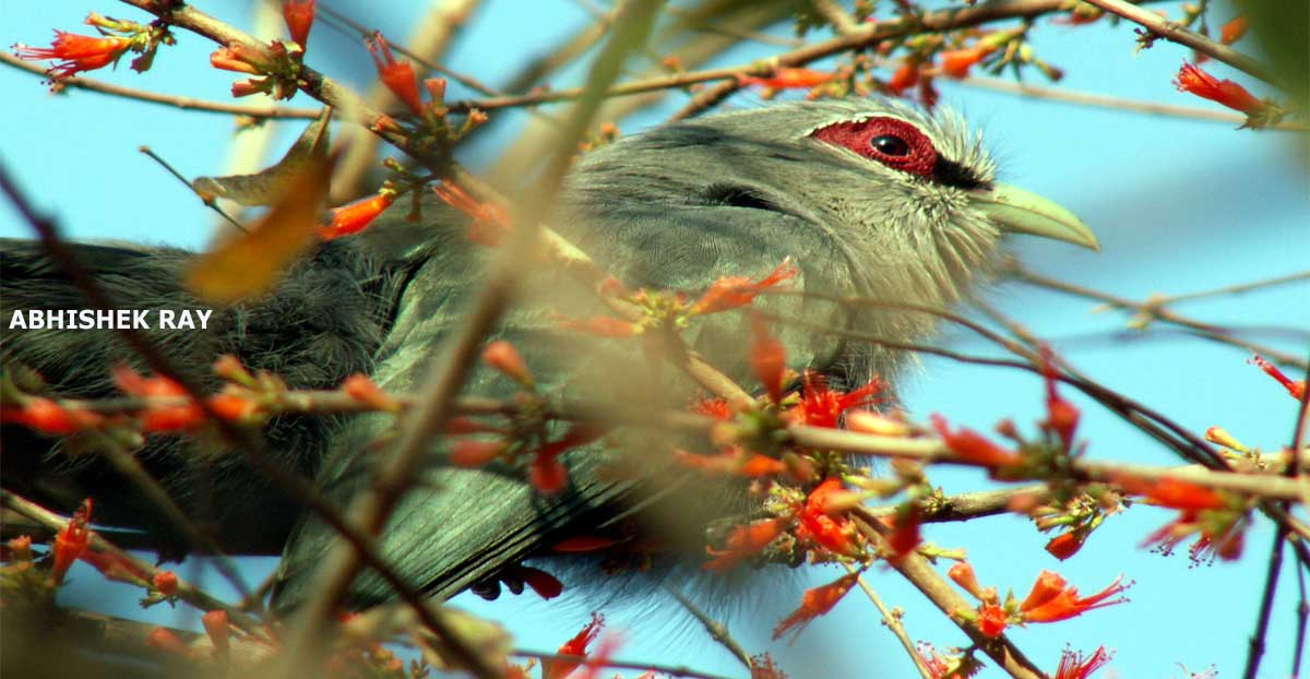 Green Billed Malkoha
