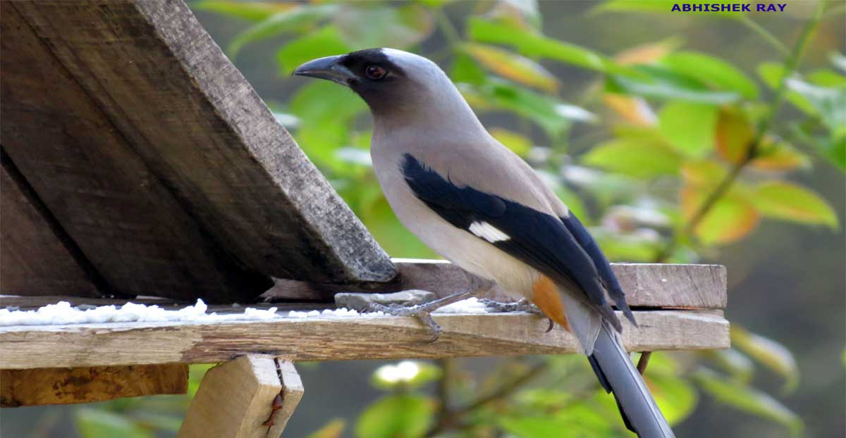 Grey Tree Pie in Birdhouse