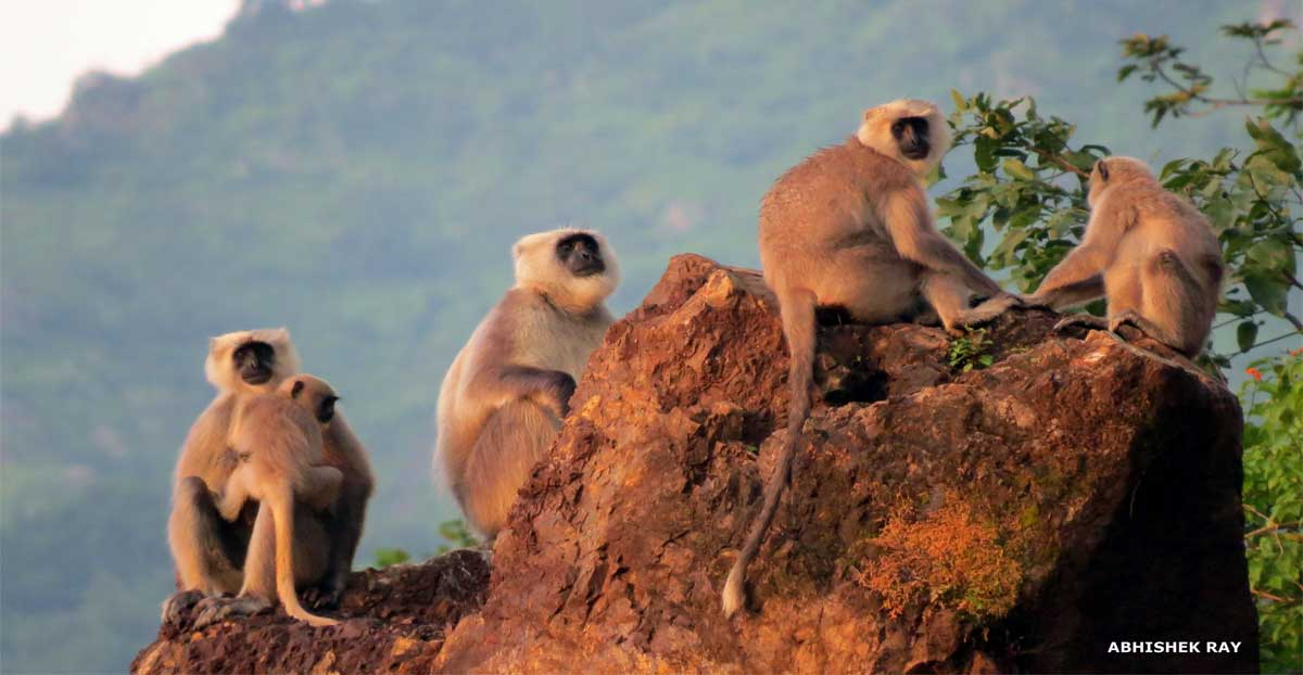 Langur Family at Sunset